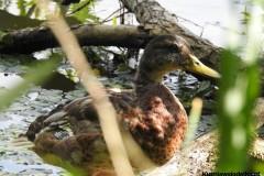 Kuznia-w-siodelku-Rezerwat-Przyrody-Lezczok-Lipiec-10