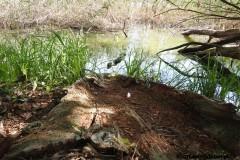 Kuznia-w-siodelku-Rezerwat-Przyrody-Lezczok-Lipiec-11
