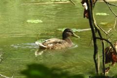 Kuznia-w-siodelku-Rezerwat-Przyrody-Lezczok-Lipiec-5