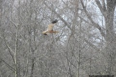 Kuznia-w-siodelku-Rezerwat-Przyrody-Staw-Nowokuznicki-5