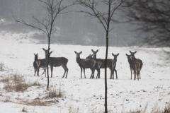 Kuznia-w-siodelku-zwierzeta-Chmara-jeleni