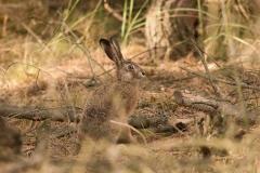 Kuznia-w-siodelku-zwierzeta-Zajac-szarak-1