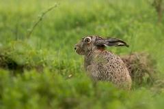 Kuznia-w-siodelku-zwierzeta-Zajac-szarak