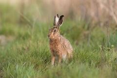 Kuznia-w-siodelku-zwierzeta-Zajac